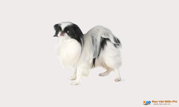 Chó Nhật lai Bắc Kinh